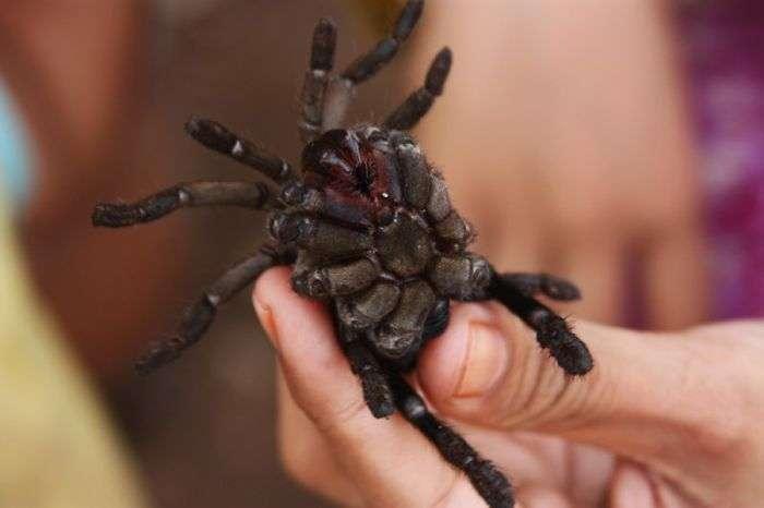 Ви не любите павуків? Ви просто не вмієте їх готувати! (16 фото)