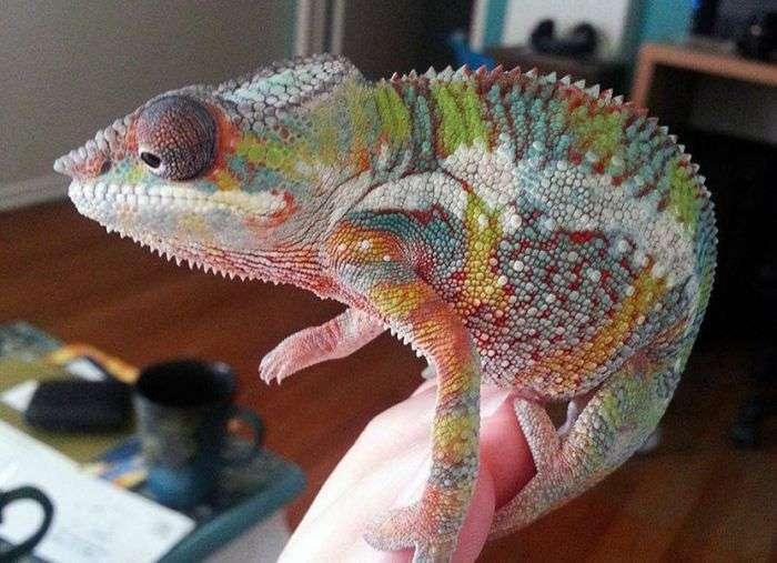 Домашній хамелеон Йоші (9 фото)