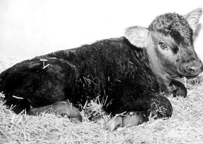 Вдалі спроби клонування різних тварин (12 фото)