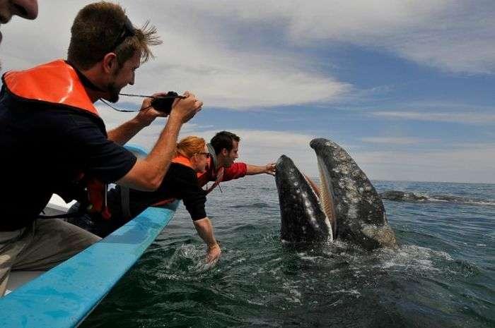 Дружня зустріч і поцілунки з китом (21 фото + відео)