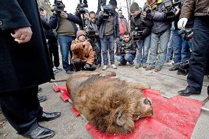 Мафіозі погрожував кинути в клітку до левів і ведмедів (5 фото)