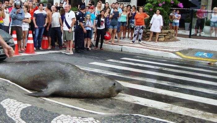 Прогулянка морського тюленя по місту (5 фото)